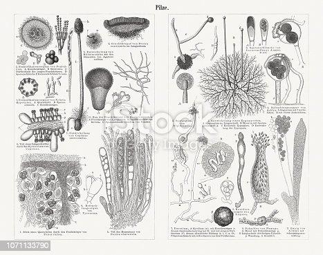 Mycelium of mushrooms (greatly enlarged). Wood engravings, published in 1897.