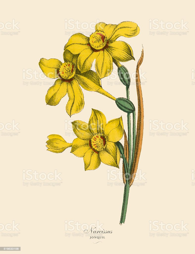 Narcissus or Jonquil Plants, Victorian Botanical Illustration vector art illustration