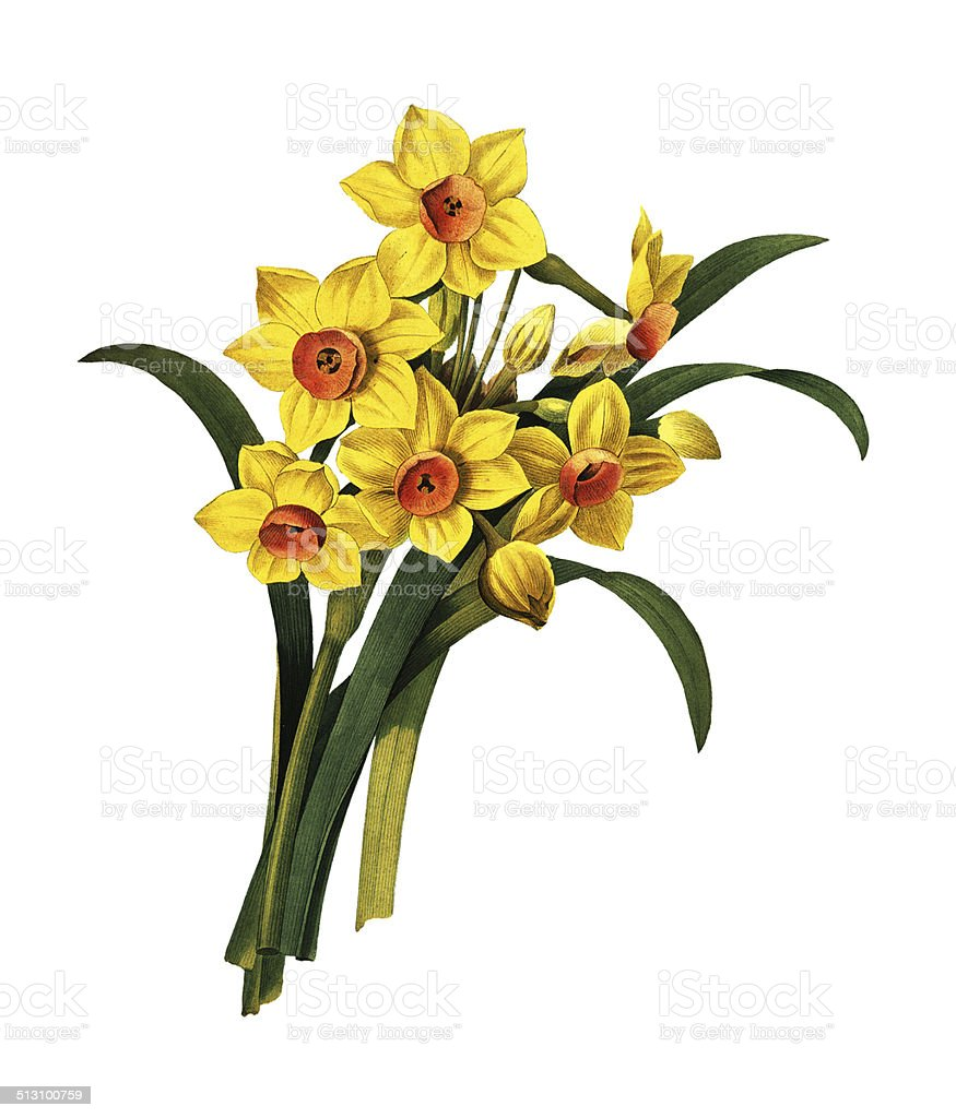 Narcissus tazetta | Redoute Flower Illustrations vector art illustration