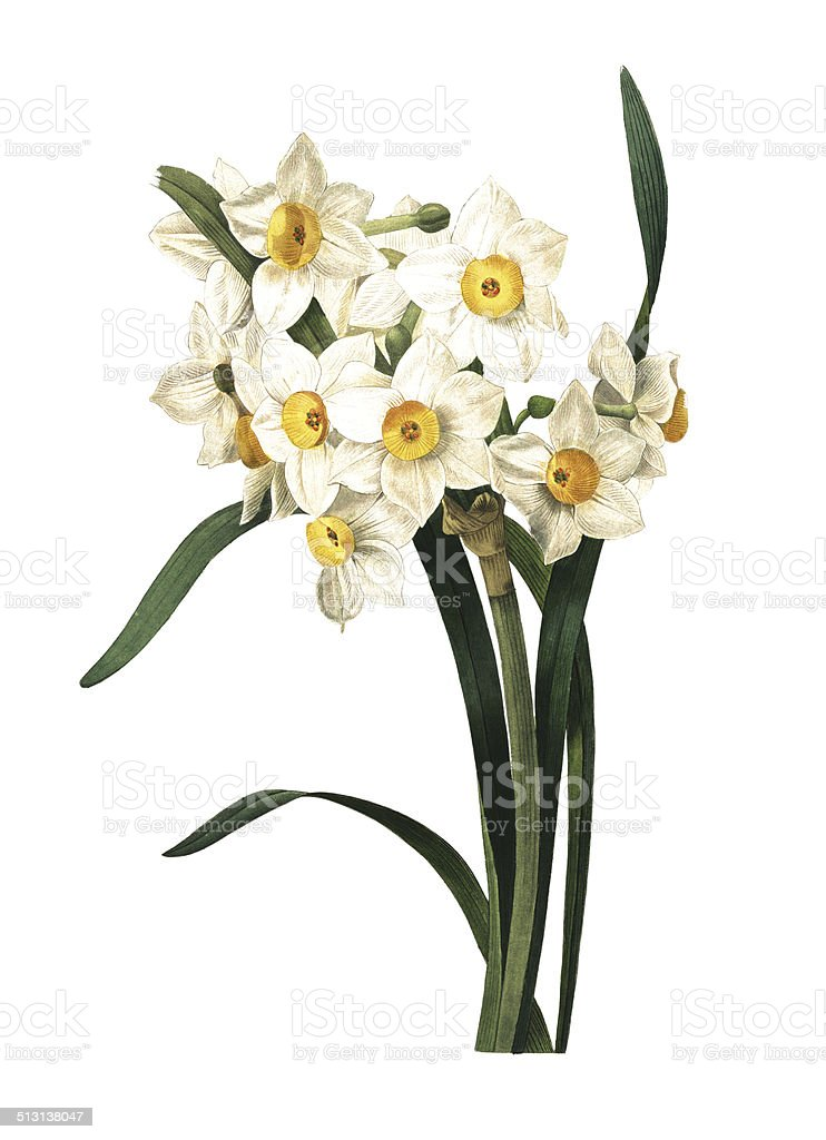 Best Paperwhite Narcissus Illustrations  Royalty-free Vector Graphics  U0026 Clip Art