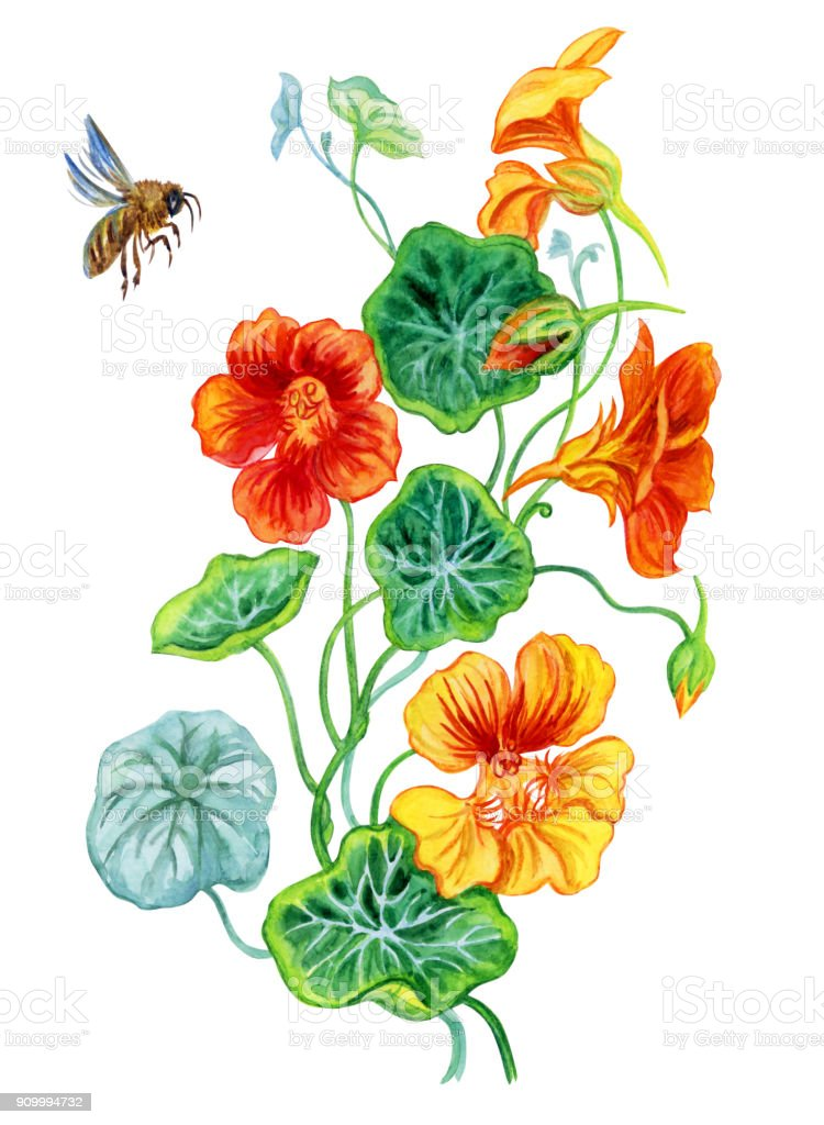 Nasturtium and bee, watercolor royalty-free nasturtium and bee watercolor stock illustration - download image now