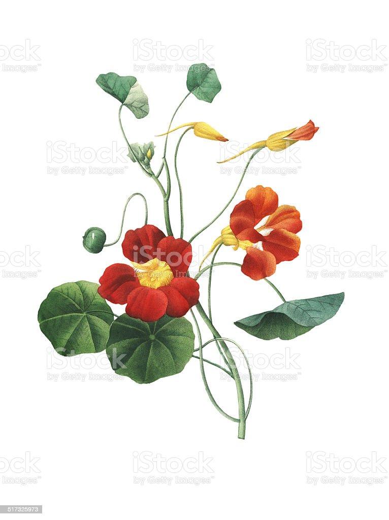 Nasturtium | Redoute Flower Illustrations royalty-free nasturtium redoute flower illustrations stock illustration - download image now
