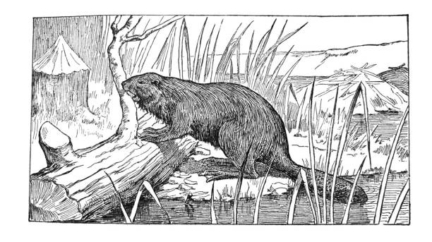 Native American Indian illustrations - Beaver chewing log - illustration From The Hiawatha Primer - 1898 beaver stock illustrations