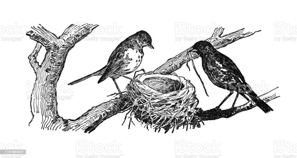 Native American Indian Illustrations Birds Building Nest