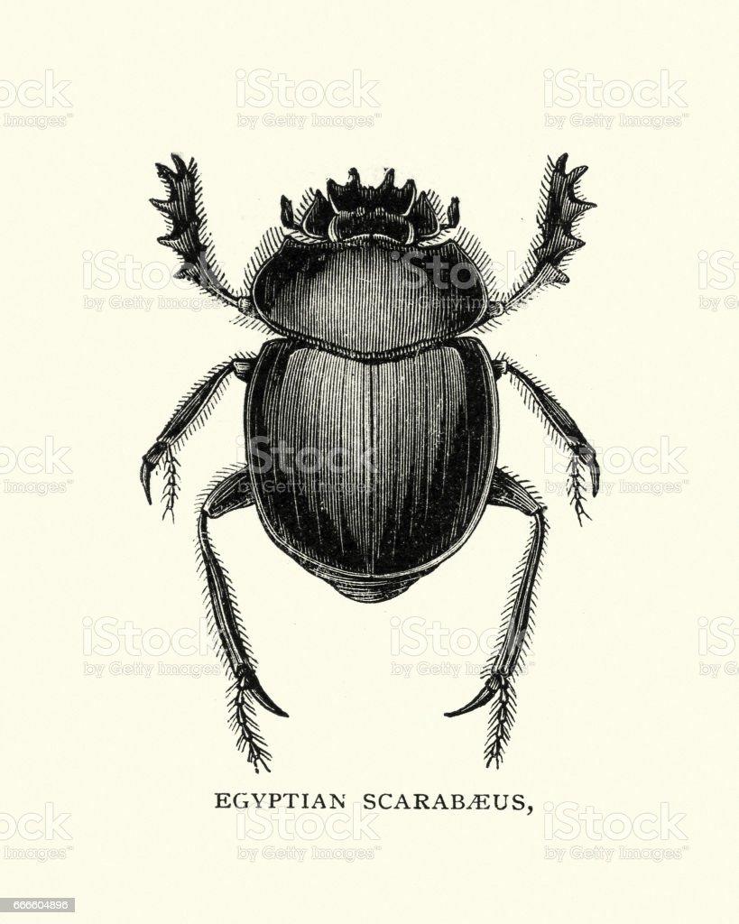 Natural history - Beetles - Egyptian Scarabaeus vector art illustration
