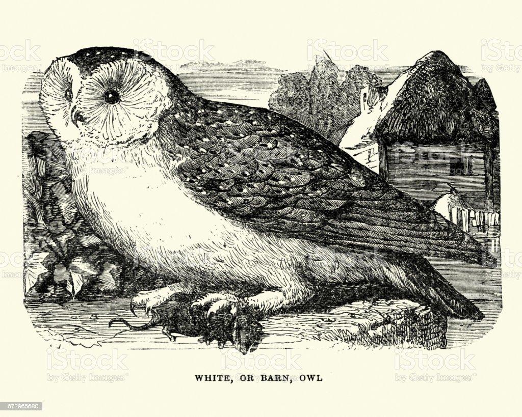 自然歷史-鳥-穀倉貓頭鷹向量藝術插圖