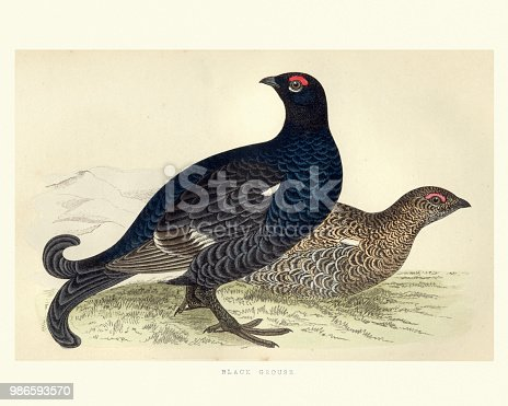 Vintage engraving of a  black grouse or blackgame or blackcock (Tetrao tetrix) is a large game bird in the grouse family. . T. from Francis Orpen Morris, A History of British Birds.