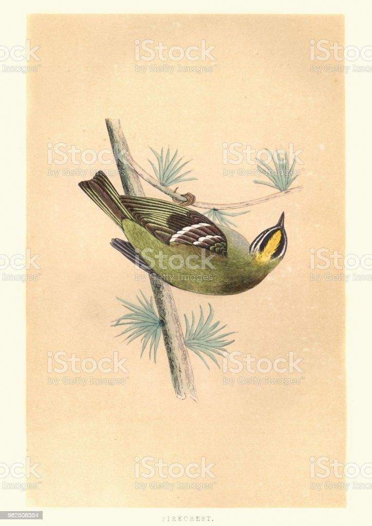 Natural history, Birds, common firecrest (Regulus ignicapilla) - Royalty-free 19th Century stock illustration