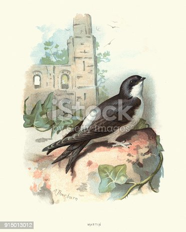 Vintage engraving of a Common house martin (Delichon urbicum), sometimes called the northern house martin or, particularly in Europe, just house martin, is a migratory passerine bird of the swallow family