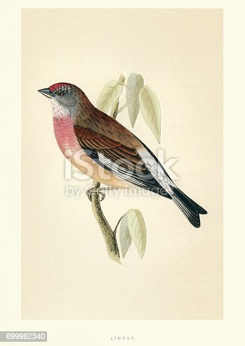Vintange illustration of a common linnet (Linaria cannabina) is a small passerine bird of the finch family, Fringillidae. Francis Orpen Morris, A History of British Birds