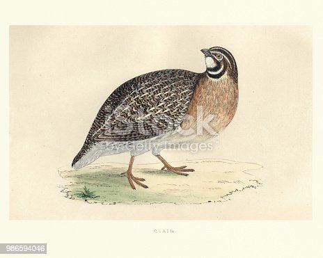 Vintage engraving of a common quail (Coturnix coturnix) or European quail is a small ground-nesting game bird in the pheasant family Phasianidae. from Francis Orpen Morris, A History of British Birds.