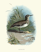 Vintage engraving of a Natural History, Birds, common sandpiper (Actitis hypoleucos) a small Palearctic wader.