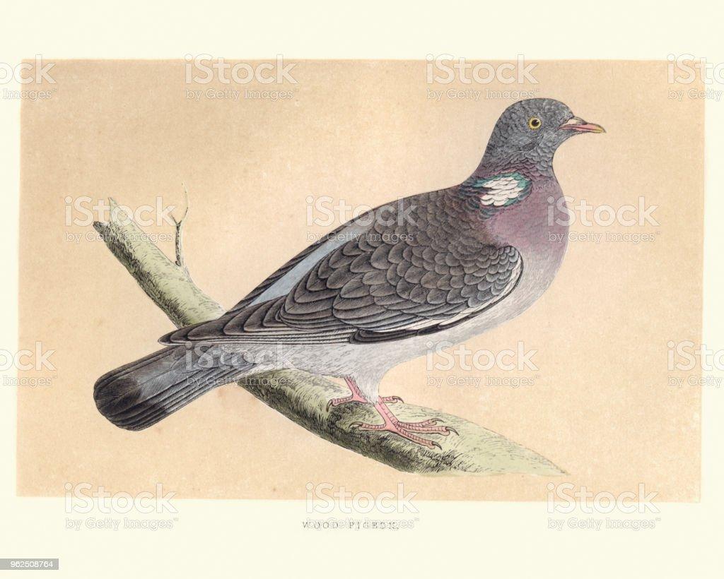 Natural history, Birds, common wood pigeon (Columba palumbus) - Royalty-free 19th Century stock illustration