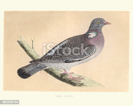 Vintage engraving of a common wood pigeon (Columba palumbus) is a large species in the dove and pigeon family. It belongs to the genus Columba and, like all pigeons and doves, belongs to the family Columbidae. from Francis Orpen Morris, A History of British Birds.
