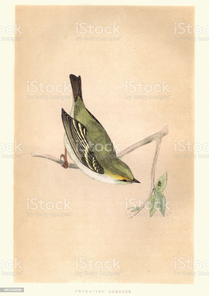 Natural history, Birds, Dalmatian Regulus, Kinglet - Royalty-free 19th Century stock illustration