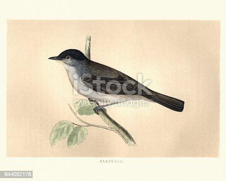 Natural History Birds Eurasian Blackcap Stock Vector Art More Images Of Animal 944052178