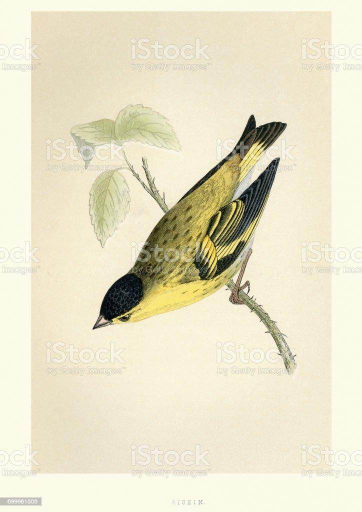 Natural History - Birds - Eurasian siskin vector art illustration