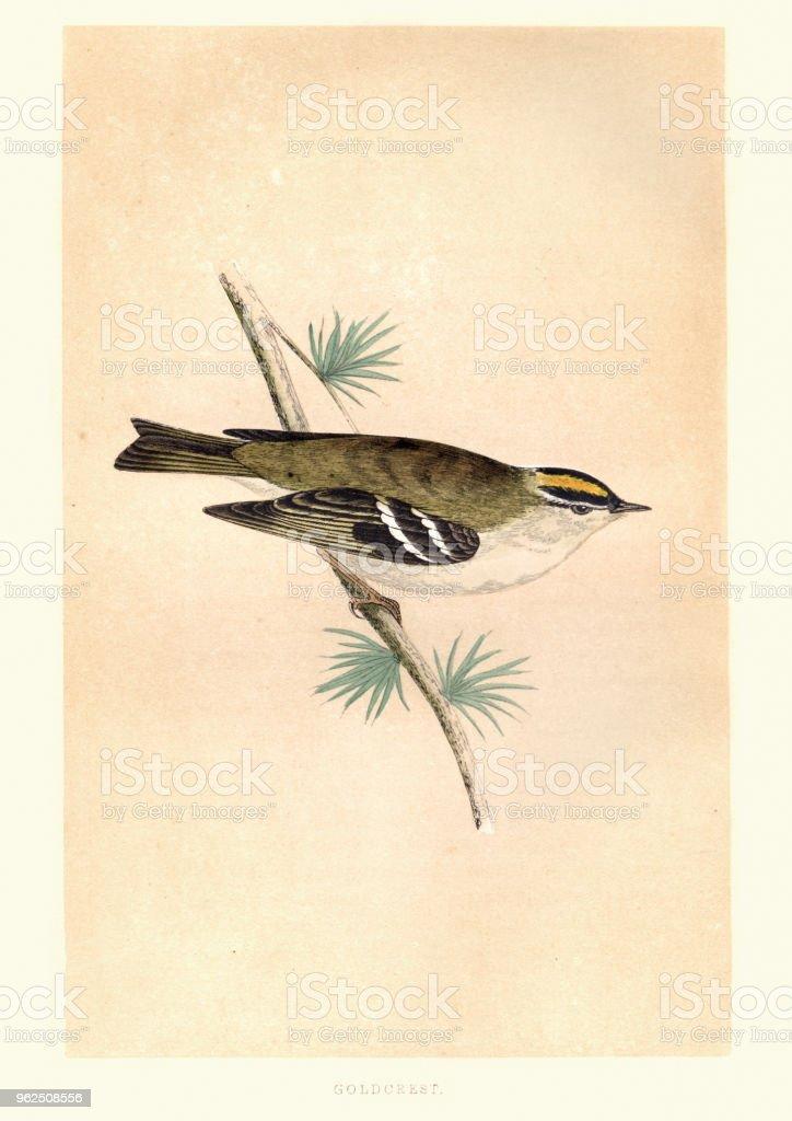 Natural history, Birds, goldcrest (Regulus regulus) - Royalty-free 19th Century stock illustration