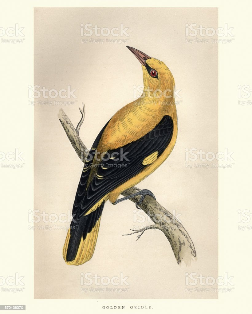 Natural History, Birds, golden oriole (Oriolus oriolus) vector art illustration