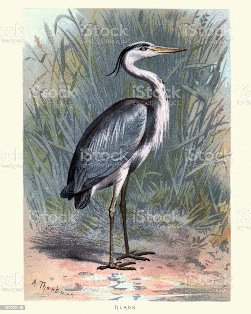 Natural History - Birds - Grey heron - illustrazione arte vettoriale