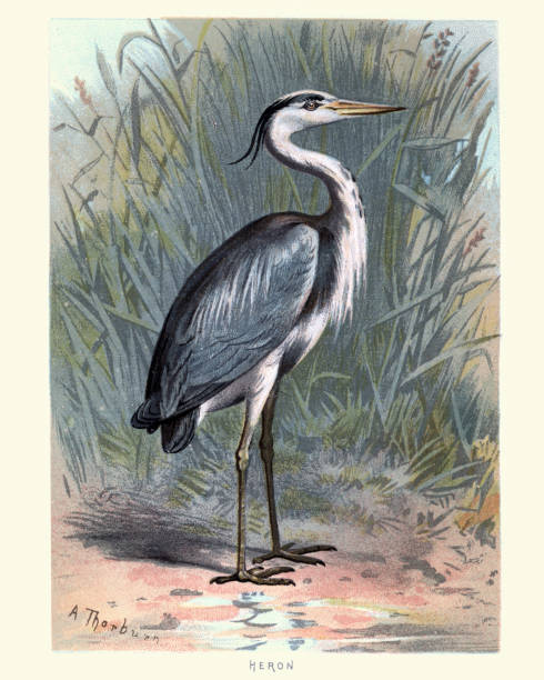 43 Ardea Cinerea Illustrations Clip Art Istock