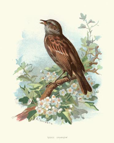 Natural history, Birds, Hedge sparrow, Dunnock