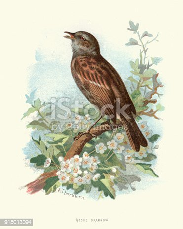 Vintage engraving of a dunnock (Prunella modularis) is a small passerine, or perching bird, found throughout temperate Europe and into Asia. Other common names of the dunnock include the hedge accentor, hedge sparrow, or hedge warbler.