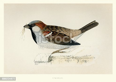 Vintange illustration of a House sparrow (Passer domesticus) . Francis Orpen Morris, A History of British Birds