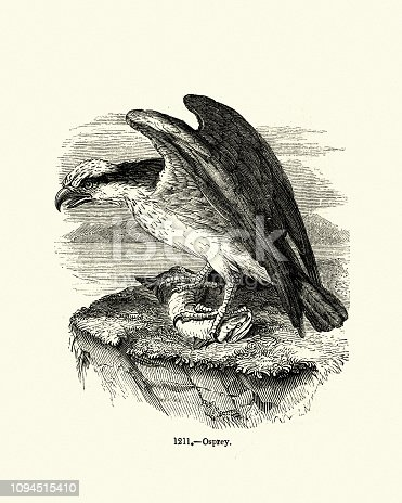 Vintage engraving of a Osprey (Pandion haliaetus).  also called sea hawk, river hawk, and fish hawk , is a diurnal, fish-eating bird of prey with a cosmopolitan range. Pictorial Museum of Animated Nature
