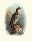 Vintage engraving of a peregrine falcon (Falco peregrinus), also known as the peregrine a widespread bird of prey (raptor) in the family Falconidae.