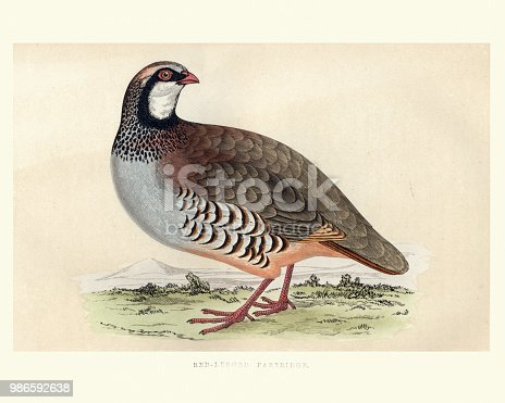 Vintage engraving of a red-legged partridge (Alectoris rufa) a gamebird in the pheasant family Phasianidae of the order Galliformes, gallinaceous birds. It is sometimes known as French partridge. from Francis Orpen Morris, A History of British Birds.