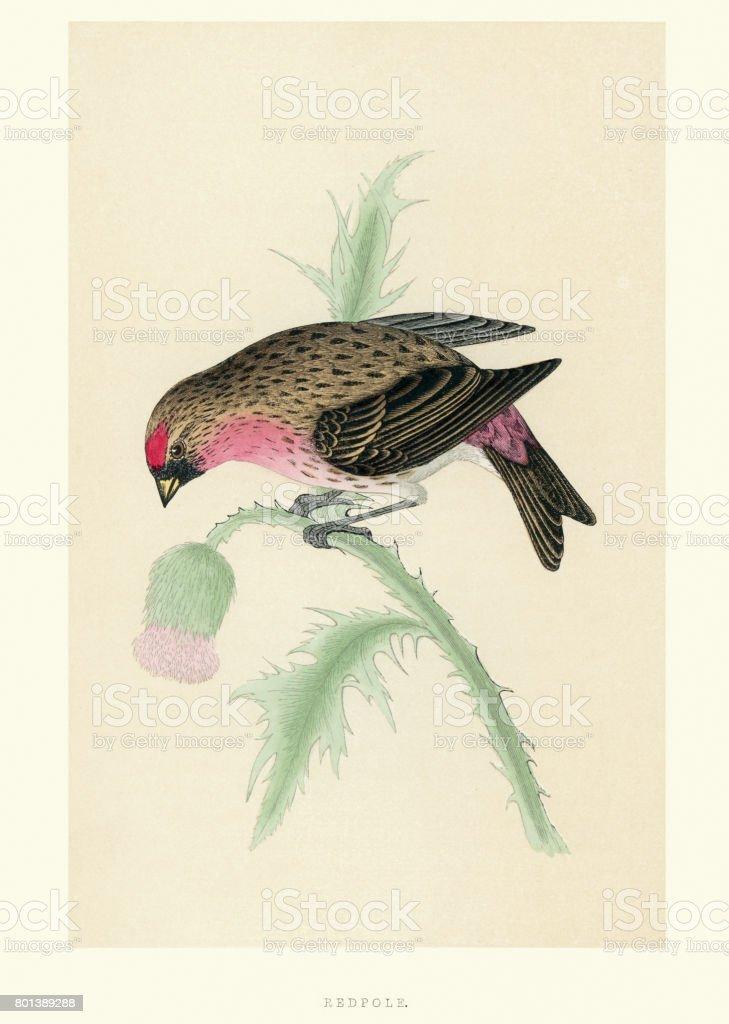 Natural History - Birds - Redpoll vector art illustration
