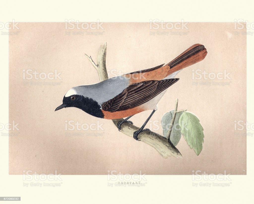 Natural History, Birds, Redstart (Phoenicurus phoenicurus) vector art illustration