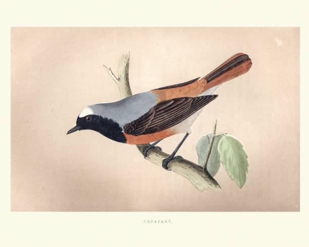 자연의 역사, 조류, redstart (phoenicurus phoenicurus) - 붉은발도요 stock illustrations