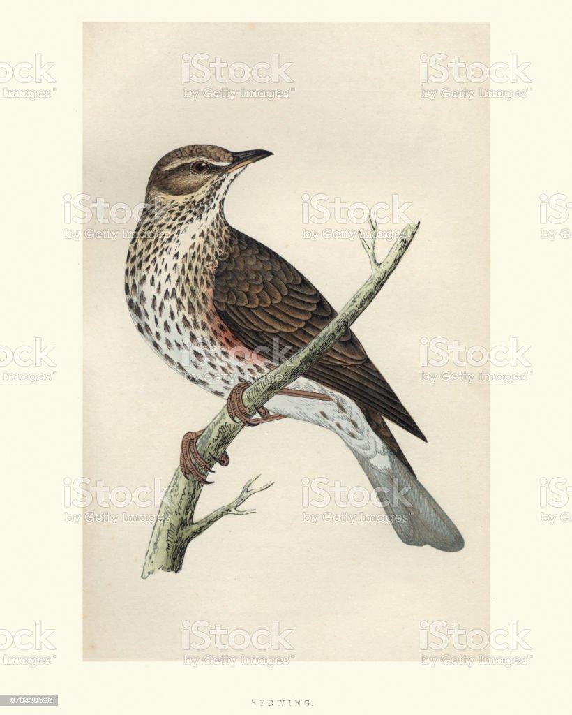 Natural History, Birds, Redwing (Turdus iliacus) vector art illustration