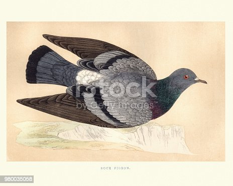 Vintage engraving of a Rock dove, rock pigeon or common pigeon (Columba livia) a member of the bird family Columbidae (doves and pigeons). In common usage, this bird is often simply referred to as the pigeon. from Francis Orpen Morris, A History of British Birds.