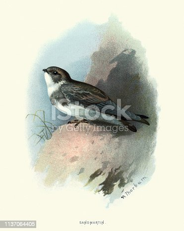 Vintage engraving of a sand martin (Riparia riparia) or European sand martin, bank swallow in the Americas, and collared sand martin in the Indian Subcontinent, is a migratory passerine bird in the swallow family.  Familiar Wild Birds, W Swaysland.