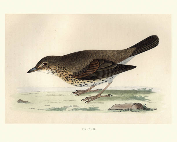 ilustrações de stock, clip art, desenhos animados e ícones de natural history, birds, song thrush (turdus philomelos) - song thrush