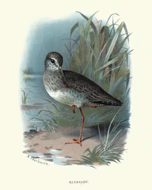 자연의 역사, 새, 바 뎀, 레드 생크 - 붉은발도요 stock illustrations