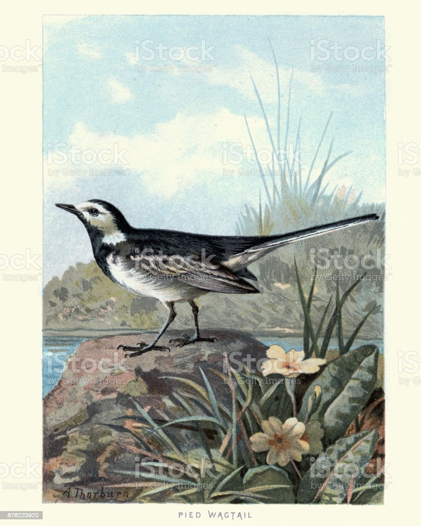 Natural History - Birds - White wagtail vector art illustration