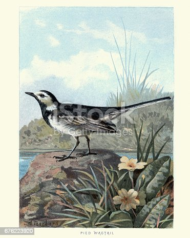 Natural History Birds White Wagtail Stock Vector Art More Images Of 19th Century 676223920