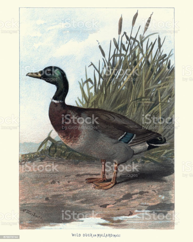 Natural History - Birds - Wild Duck or Mallard vector art illustration