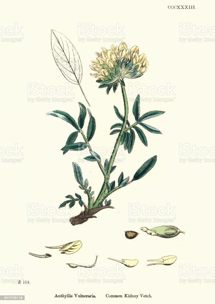 Natural History - Botany - Anthyllis vulneraria kidneyvetch vector art illustration