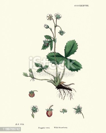 Vintage engraving of a Fragaria vesca, commonly called wild strawberry, woodland strawberry, Alpine strawberry, Carpathian Strawberry, European strawberry, or fraisier des bois, is a perennial herbaceous plant in the Rose family and that produces edible fruits.