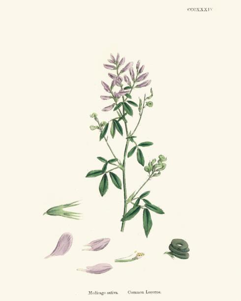illustrazioni stock, clip art, cartoni animati e icone di tendenza di natural history botany -  medicago sativa alfalfa - erba medica
