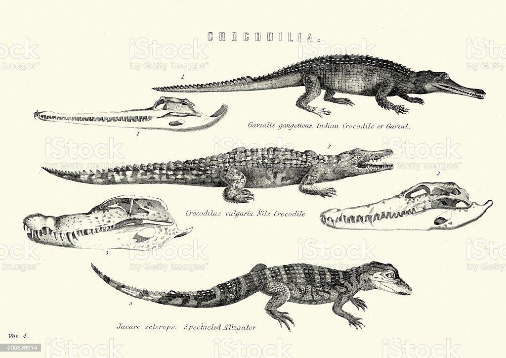 Ilustración de Historia Naturalcrocodiliagavial Cocodrilo Del Nilo ...