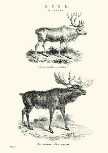 Vintage engraving of a Reindeer and Moose, 1880