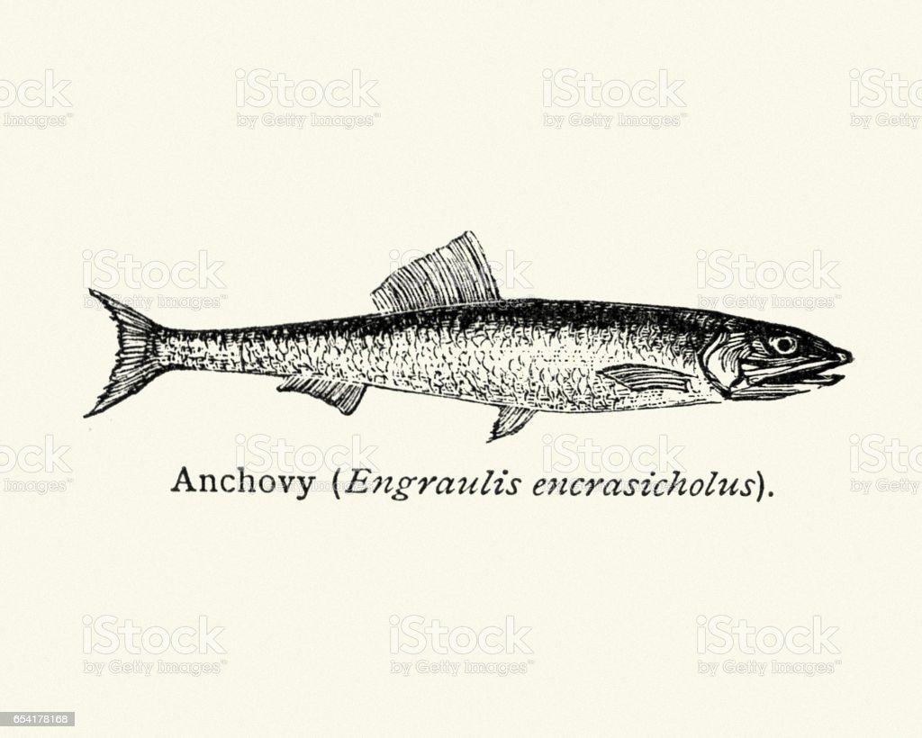 Natural History Fish -  Anchovy - ilustración de arte vectorial