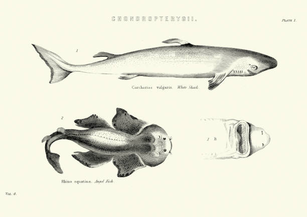 Natural History - Fish - Chondropterygii Vintage engraving of Chondropterygii, A group of fishes, characterized by cartilaginous fins and skeleton. White Shark and Angel Fish angel shark stock illustrations