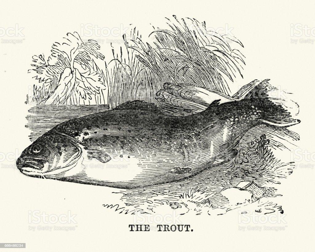 Natural History - Fish - Trout vector art illustration